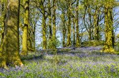 会开蓝色钟形花的草在北英国森林地 库存照片