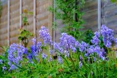 会开蓝色钟形花的草在庭院里 免版税库存图片