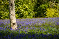 会开蓝色钟形花的草在康沃尔郡 图库摄影