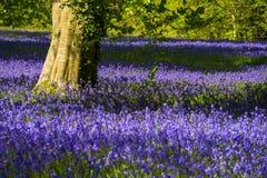 会开蓝色钟形花的草在康沃尔郡 免版税库存照片