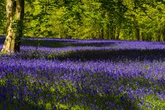 会开蓝色钟形花的草在康沃尔郡 库存图片
