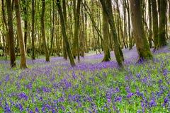 会开蓝色钟形花的草在康沃尔郡 免版税库存图片