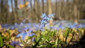 会开蓝色钟形花的草在春天公园在一好日子 紧密- Scilla siberica或蓝色snowdrop 看法从下面,从 股票视频