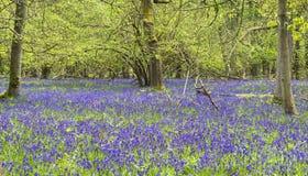 会开蓝色钟形花的草在春天森林里 免版税库存图片