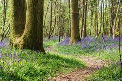 会开蓝色钟形花的草在森林在英国 库存照片