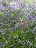 会开蓝色钟形花的草在森林春天 免版税库存图片