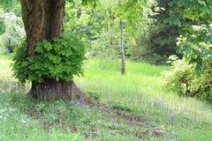 会开蓝色钟形花的草在欧洲七叶树树下 免版税库存照片
