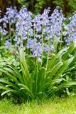 会开蓝色钟形花的草在花圃里 图库摄影