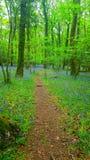 会开蓝色钟形花的草在英国森林地 库存照片