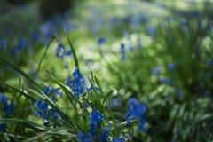 会开蓝色钟形花的草在萨里  库存照片