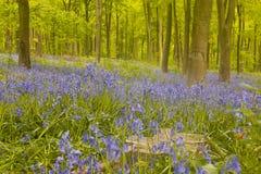 会开蓝色钟形花的草在西方森林。 库存照片