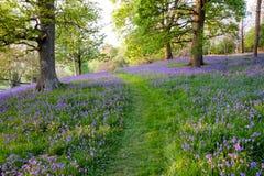 会开蓝色钟形花的草在这个开放森林地覆盖着地面,由草道路穿过了 库存图片