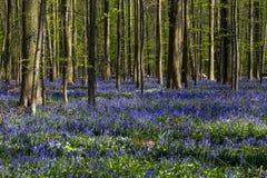 会开蓝色钟形花的草在Tranendal (泪珠谷)盖在Hallerbos,比利时 免版税库存图片