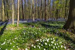 会开蓝色钟形花的草在Tranendal (泪珠谷)覆盖着在Hallerbos,比利时 图库摄影