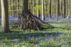 会开蓝色钟形花的草在Tranendal (泪珠谷)覆盖着在Hallerbos,比利时 免版税库存照片
