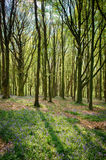 会开蓝色钟形花的草在Wenallt森林加的夫 库存图片