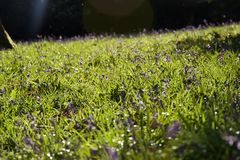 会开蓝色钟形花的草地毯在晚上 库存照片