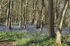 会开蓝色钟形花的草地毯在比戈国家公园的 免版税图库摄影