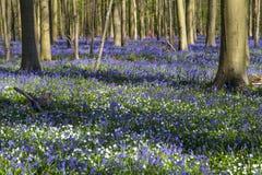 会开蓝色钟形花的草地毯在Hallerbos木头,比利时的 库存图片
