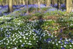 会开蓝色钟形花的草地毯在Hallerbos木头,比利时 库存图片