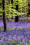 会开蓝色钟形花的草地毯结构树年轻&# 免版税库存图片