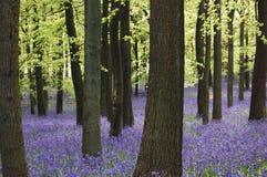 会开蓝色钟形花的草地毯 免版税库存照片