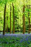 会开蓝色钟形花的草地毯  免版税库存图片