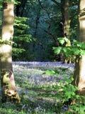 会开蓝色钟形花的草地毯 库存照片