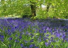 会开蓝色钟形花的草多西特英国森林 免版税库存照片