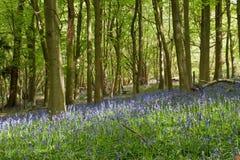 会开蓝色钟形花的草小灌木林 库存图片