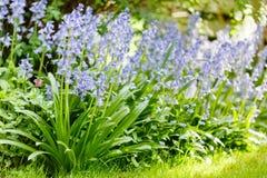 会开蓝色钟形花的草庭院边界 免版税库存照片