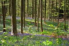 会开蓝色钟形花的草开花比利时4月下旬,哈雷的木头, 库存照片