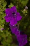 会开蓝色钟形花的草开花特写镜头 免版税图库摄影