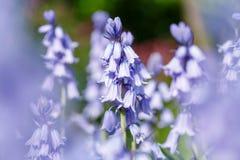 会开蓝色钟形花的草开花特写镜头 图库摄影
