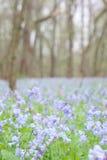 会开蓝色钟形花的草弗吉尼亚 免版税库存照片