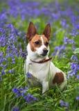 会开蓝色钟形花的草插孔罗素狗 图库摄影