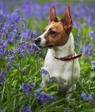 会开蓝色钟形花的草插孔罗素狗 库存照片