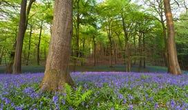 会开蓝色钟形花的草日落木头 免版税库存图片