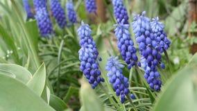 会开蓝色钟形花的草春天花 股票视频