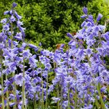 会开蓝色钟形花的草春天 免版税库存照片