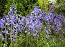会开蓝色钟形花的草春天 免版税库存图片