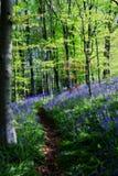会开蓝色钟形花的草木头 库存图片