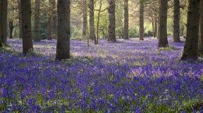 会开蓝色钟形花的草木头 免版税图库摄影