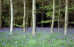 会开蓝色钟形花的草木头 库存照片