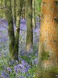 会开蓝色钟形花的草木头和在橙色地衣盖的树干 库存图片