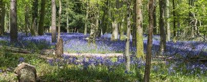 会开蓝色钟形花的草木头在苏克塞斯 免版税库存图片