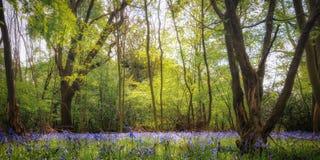 会开蓝色钟形花的草木头在4月 库存图片