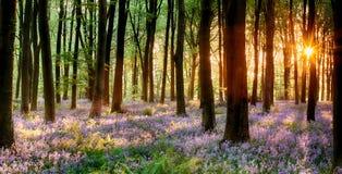会开蓝色钟形花的草木头日出 免版税库存照片