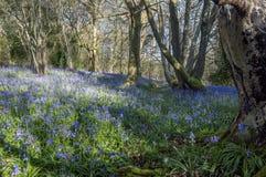 会开蓝色钟形花的草木头黎明 库存照片