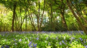 会开蓝色钟形花的草木头春天 免版税库存照片